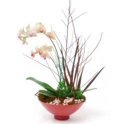 Phalaenopsis Asia